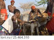 Купить «Samburu warriors bleeding a Cow {Bos indicus}, Kenya. Samburu people live on a diet of blood and milk. 2005.», фото № 25464310, снято 10 июля 2020 г. (c) Nature Picture Library / Фотобанк Лори