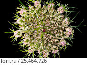 Купить «Flower of Wild carrot plant (Daucus carota) Europe», фото № 25464726, снято 25 мая 2020 г. (c) Nature Picture Library / Фотобанк Лори