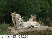 Купить «Arctic grey wolf with cubs {Canis lupus} Parc de Sainte-Croix, Rhodes, France. Captive», фото № 25465250, снято 20 февраля 2020 г. (c) Nature Picture Library / Фотобанк Лори