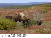 Купить «Moose {Alces alces} female with calf and male checking female's scent for oestrus, Denali National Park, Alaska, USA.», фото № 25465254, снято 23 января 2018 г. (c) Nature Picture Library / Фотобанк Лори