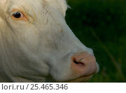 Portrait of Hereford cow {Bos taurus}, Uppland, Sweden. Стоковое фото, фотограф Staffan Widstrand / Nature Picture Library / Фотобанк Лори