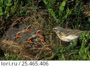 Water Pipit at nest with chicks {Anthus spinoletta} Pyrenees, France. Стоковое фото, фотограф Dave Watts / Nature Picture Library / Фотобанк Лори