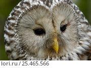 Купить «Ural owl {Strix uralensis} portrait, Vastmanland, Sweden.», фото № 25465566, снято 17 января 2019 г. (c) Nature Picture Library / Фотобанк Лори