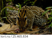Ocelot (Felis / Leopardus pardalis) with Water opossum prey, Amazon Rainforest, ECUADOR. Стоковое фото, фотограф Pete Oxford / Nature Picture Library / Фотобанк Лори