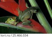 Купить «Two Green tree frogs {Litoria caerulea} on Heliconia, Queensland, Australia», фото № 25466034, снято 6 августа 2020 г. (c) Nature Picture Library / Фотобанк Лори