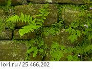 Купить «Simple plants growing in dry stone wall. Ferns, lichens and liverworts, UK», фото № 25466202, снято 17 августа 2018 г. (c) Nature Picture Library / Фотобанк Лори