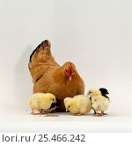 Купить «Buff bantam hen {Gallus gallus domesticus} with her chicks, 2-days-old.», фото № 25466242, снято 25 сентября 2018 г. (c) Nature Picture Library / Фотобанк Лори