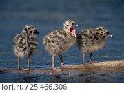 Купить «Three Common / Mew gull {Larus canus} chicks standing in water, USA.», фото № 25466306, снято 23 сентября 2018 г. (c) Nature Picture Library / Фотобанк Лори