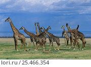 Купить «A Herd of Masai Giraffe {Giraffa camelopardis} with Lake Manyara in background, Tanzania.», фото № 25466354, снято 13 июля 2020 г. (c) Nature Picture Library / Фотобанк Лори