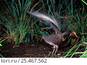 Купить «Superb lyrebird displaying and singing {Menura novaehollandiae}, Victoria, Australia.», фото № 25467562, снято 20 октября 2019 г. (c) Nature Picture Library / Фотобанк Лори