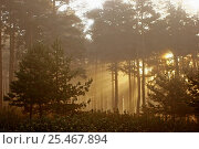 Купить «Shafts of sunlight through mist in coniferous forest, Spain», фото № 25467894, снято 28 мая 2018 г. (c) Nature Picture Library / Фотобанк Лори