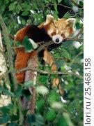 Купить «Red Panda {Ailurus fulgens} resting in tree. Captive, occurs India, Nepal, China, Laos.», фото № 25468158, снято 22 октября 2019 г. (c) Nature Picture Library / Фотобанк Лори