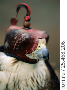Laggar falcon - falconer's bird wearning hood {Falco jugger} Italy. Стоковое фото, фотограф Staffan Widstrand / Nature Picture Library / Фотобанк Лори