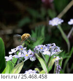 Купить «Common bee fly {Bombylius major} feeding on Forget-me-not, UK.», фото № 25468458, снято 21 января 2019 г. (c) Nature Picture Library / Фотобанк Лори