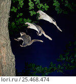 Купить «RF- Southern flying squirrel (Glaucomys volans) landing on tree, multiple exposure. (This image may be licensed either as rights managed or royalty free.)», фото № 25468474, снято 8 мая 2020 г. (c) Nature Picture Library / Фотобанк Лори