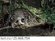 Купить «Male Tiger / Little spotted cat {Felis / Leopardus) tigrinus gettula} Captive.», фото № 25468754, снято 17 января 2020 г. (c) Nature Picture Library / Фотобанк Лори