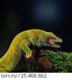 Купить «Madagascan day gecko {Phelsuma madagascariensis} licking eye. Madagascar.», фото № 25468862, снято 3 апреля 2020 г. (c) Nature Picture Library / Фотобанк Лори