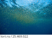 Купить «Sea thimble jellyfish swarming {Linuche unguiculata} Bahamas», фото № 25469022, снято 18 августа 2018 г. (c) Nature Picture Library / Фотобанк Лори