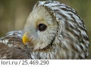 Купить «Ural owl {Strix uralensis} portrait, Vastmanland, Sweden.», фото № 25469290, снято 17 января 2019 г. (c) Nature Picture Library / Фотобанк Лори