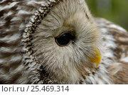 Купить «Ural owl {Strix uralensis} portrait, Vastmanland, Sweden.», фото № 25469314, снято 17 января 2019 г. (c) Nature Picture Library / Фотобанк Лори