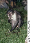 Купить «White collared mangabey (Cercocebus atys lunulatus) feeding, captive, from Ghana, Vulnerable species», фото № 25469498, снято 14 ноября 2019 г. (c) Nature Picture Library / Фотобанк Лори