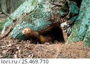 Pine marten {Martes martes} at den in tree, Bryansky Les Zapovednik Russia. Стоковое фото, фотограф Igor Shpilenok / Nature Picture Library / Фотобанк Лори