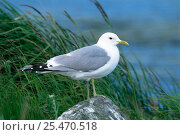 Купить «Common / Mew gull {Larus canus} portrait on a rock, USA.», фото № 25470518, снято 23 сентября 2018 г. (c) Nature Picture Library / Фотобанк Лори