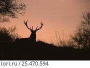 Купить «Silhouette of Red deer stag {Cervus elaphus} at sunrise. Peak District National Park, UK», фото № 25470594, снято 26 февраля 2020 г. (c) Nature Picture Library / Фотобанк Лори