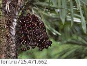 Купить «Maraja berries {Bactris / Pyrenoglyphis maraja} in rainforest, Amazonas, Brazil», фото № 25471662, снято 19 августа 2018 г. (c) Nature Picture Library / Фотобанк Лори