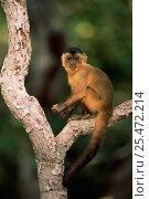 Купить «Brown capped capuchin monkey {Cebus apella} Cerrado, Brazil», фото № 25472214, снято 24 марта 2019 г. (c) Nature Picture Library / Фотобанк Лори