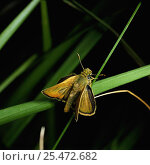 Lulworth skipper butterfly {Thymelicus acteon} male, UK. Стоковое фото, фотограф Kim Taylor / Nature Picture Library / Фотобанк Лори