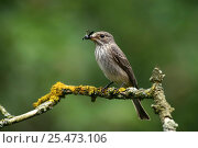 Spotted Flycatcher (Muscicapa striata) with beetle prey, UK. Стоковое фото, фотограф Kim Taylor / Nature Picture Library / Фотобанк Лори