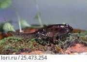 Купить «European Edible Frog (Rana esculenta) froglet with tail, UK. Captive», фото № 25473254, снято 18 июля 2019 г. (c) Nature Picture Library / Фотобанк Лори