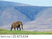 African elephant bull in musth {Loxodonta africana} Ngorongoro crater, Tanzania. Стоковое фото, фотограф Nick Garbutt / Nature Picture Library / Фотобанк Лори