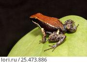 Купить «Poison arrow frog [Dendrobates sp} Ecuador», фото № 25473886, снято 20 мая 2019 г. (c) Nature Picture Library / Фотобанк Лори