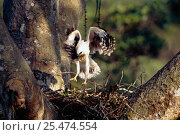 Купить «Crested eagle fledgling exercising on nest {Morphnus guianensis} Amazonia, Peru», фото № 25474554, снято 16 августа 2018 г. (c) Nature Picture Library / Фотобанк Лори