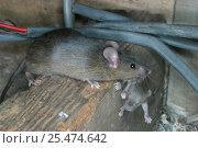 Купить «House mice carrying baby {Mus musculus} Wales, UK. Captive.», фото № 25474642, снято 18 августа 2018 г. (c) Nature Picture Library / Фотобанк Лори