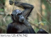 Купить «Female Chimpanzee portrait, Gombe NP, Tanzania 'Fanni' 2002», фото № 25474742, снято 22 марта 2019 г. (c) Nature Picture Library / Фотобанк Лори