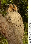 Купить «Southern tamandua at termite nest in tree, Cerrado, Piaui state, Brazil anteater», фото № 25475914, снято 24 марта 2019 г. (c) Nature Picture Library / Фотобанк Лори