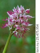 Купить «Monkey orchid flower, {Orchis simia} France», фото № 25475954, снято 23 марта 2019 г. (c) Nature Picture Library / Фотобанк Лори