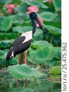 Black necked stork {Ephippiorhynchus asiaticus} Kakadu NP, NT, Australia. Стоковое фото, фотограф Dave Watts / Nature Picture Library / Фотобанк Лори