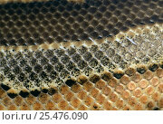 Купить «Close up of skin of Blood python {Python curtus} captive», фото № 25476090, снято 21 сентября 2019 г. (c) Nature Picture Library / Фотобанк Лори