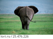 Rear of Male African elephant {Loxodonta africana} Ngorongoro crater, Tanzania. Стоковое фото, фотограф Nick Garbutt / Nature Picture Library / Фотобанк Лори