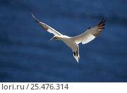 Купить «Northern gannet hovering {Morus bassanus} Quebec», фото № 25476314, снято 2 июня 2020 г. (c) Nature Picture Library / Фотобанк Лори