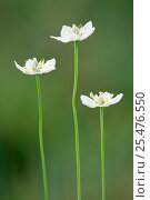 Купить «Grass of Parnassus flowers {Parnassia palustris} Switzerland.», фото № 25476550, снято 16 декабря 2017 г. (c) Nature Picture Library / Фотобанк Лори