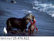 Antarctic fur seal killing King penguin, Marion Island, sub-antarctica {Arctocephalus gazella} (Taken on location for BBC Planet Earth Shallow Seas 2005). Стоковое фото, фотограф Ian McCarthy / Nature Picture Library / Фотобанк Лори