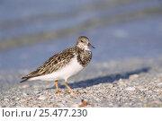 Turnstone on beach {Arenaria interpres} Sanibel Is, Florida, USA. Стоковое фото, фотограф Rolf Nussbaumer / Nature Picture Library / Фотобанк Лори