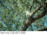 Купить «Crested pigeon {Ocyphaps lophotes} Alice Springs, Northern Territory, Australia», фото № 25477250, снято 22 февраля 2019 г. (c) Nature Picture Library / Фотобанк Лори