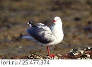 Купить «Red billed gull {Chroicocephalus scopulinus} New Zealand», фото № 25477374, снято 24 октября 2019 г. (c) Nature Picture Library / Фотобанк Лори