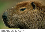 Capybara head portrait {Hydrochoerus hydrochaeris} Pantanal, Brazil. Стоковое фото, фотограф Staffan Widstrand / Nature Picture Library / Фотобанк Лори
